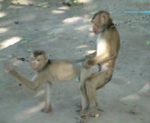 monkeybondagejpgw300h2484eg1.jpg